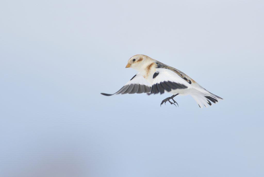 Un oiseau annonciateur de l'hiver et météosensible