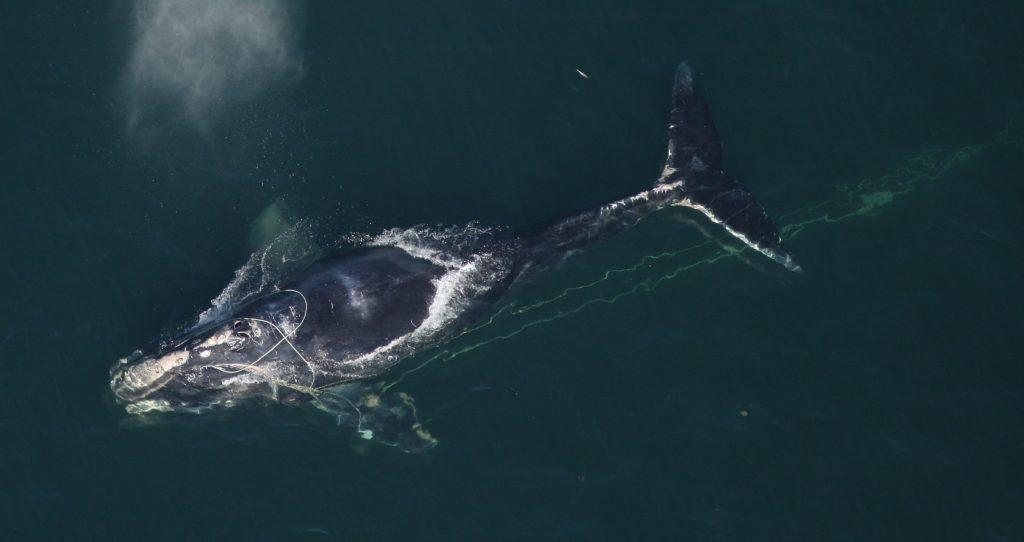 L'intelligence artificielle à la rescousse des baleines noires