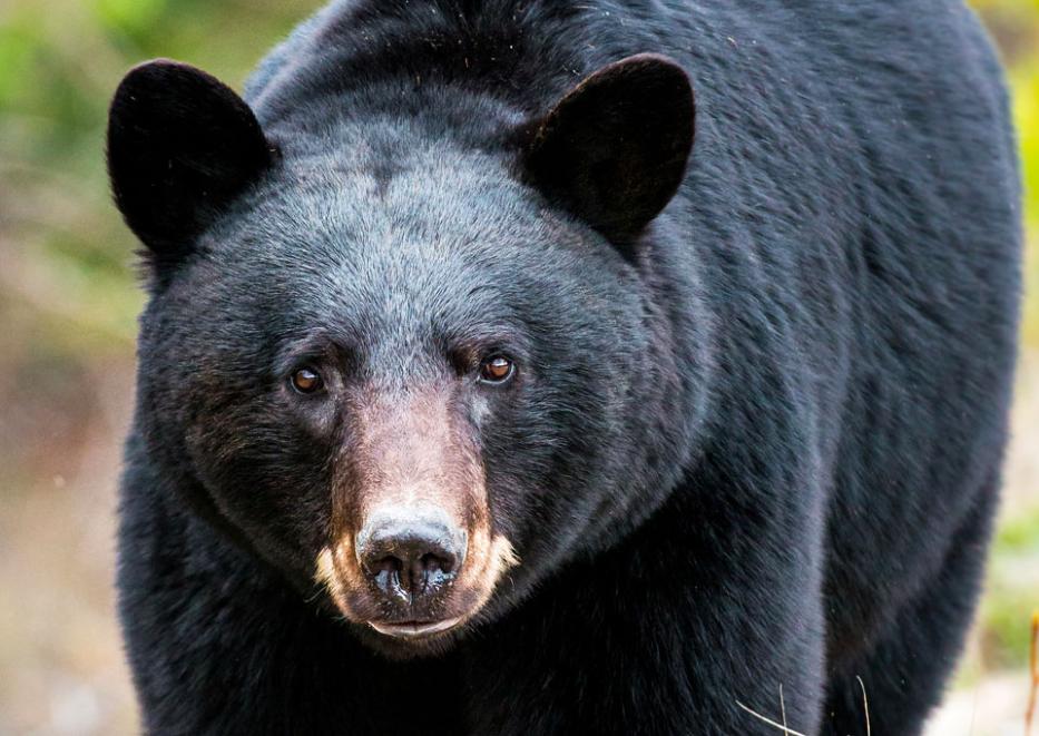 Avec plus de vacanciers en forêt, plus d'ours noirs sont observés !