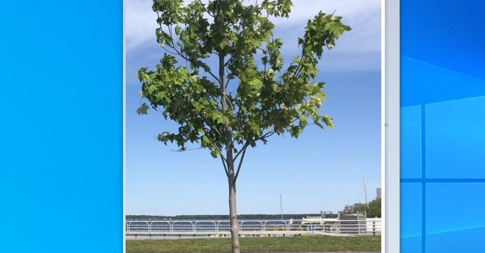 Rimouski doit retirer les arbres du premier budget participatif