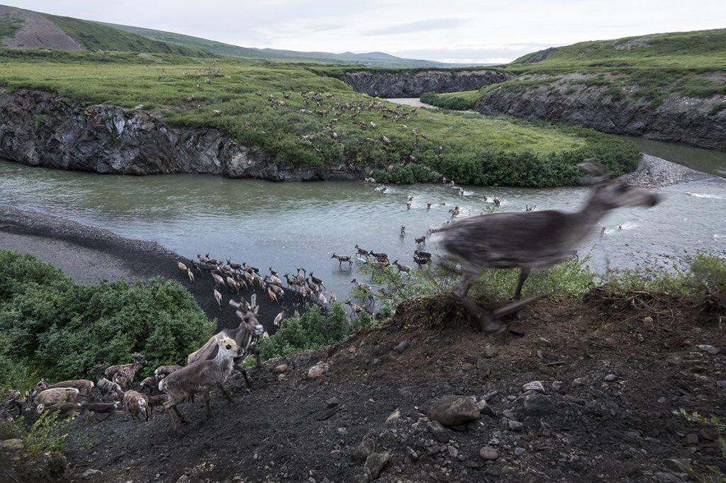 Science et savoir autochtone au service du caribou
