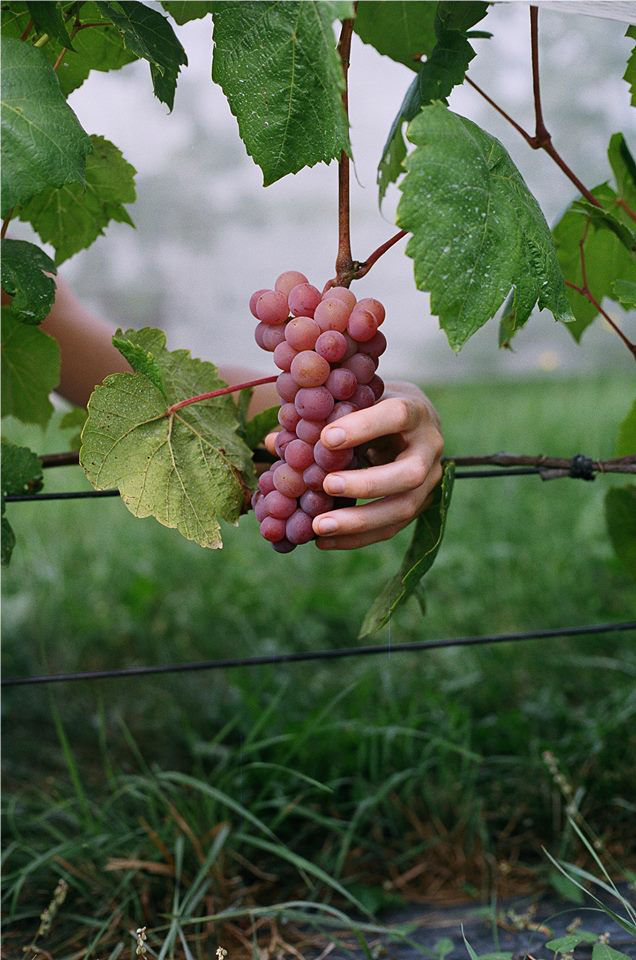 Le secteur du raisin de table du Québec se structure