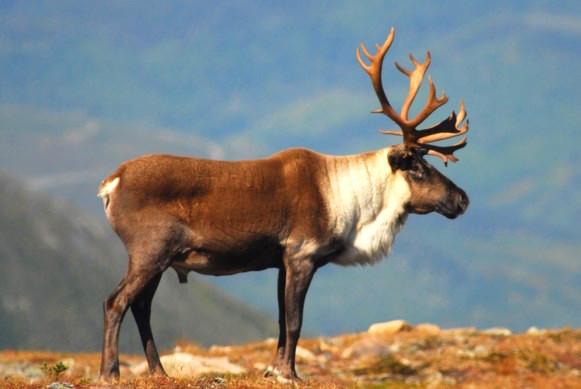 Urgence d'agir pour la survie du caribou de la Gaspésie