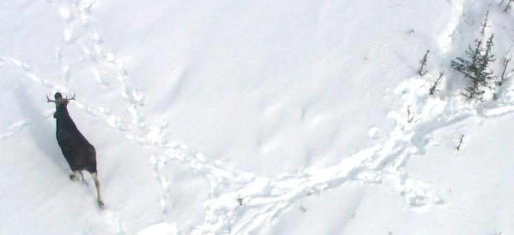 «Unis pour la faune» réunit les chasseurs et les orignaux, dénombrés par caméras !