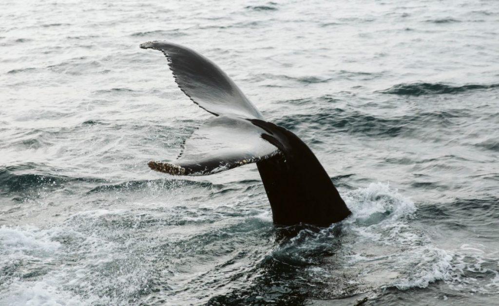 Deux navires sur trois font fi de la protection des baleines noires