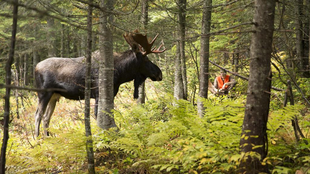 La saison de chasse de l'orignal s'annonce stable sur la ZEC-BSL